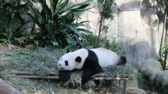 xem gấu trúc tại safari zoo là một trong những hoạt động tại singapore