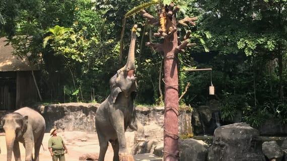 xem voi tại sở thú là một trong những hoạt động tại singapore
