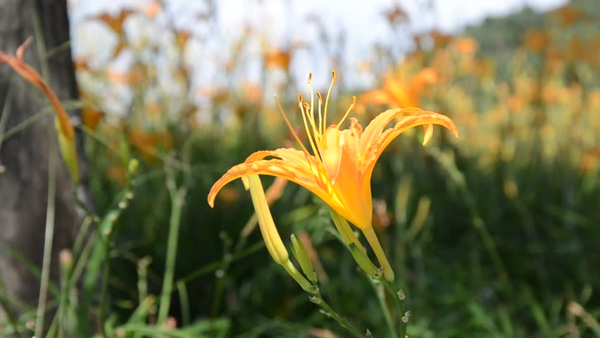 ngắm hoa hiên vàng khi du lịch tự túc đài loan