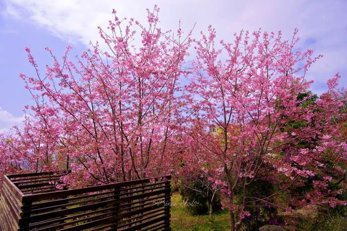 ngắm hoa anh đào ở đài loan tại alishan