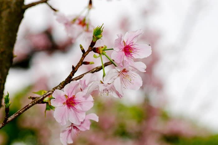 ngắm hoa anh đào ở đài loan tại yangmingshan