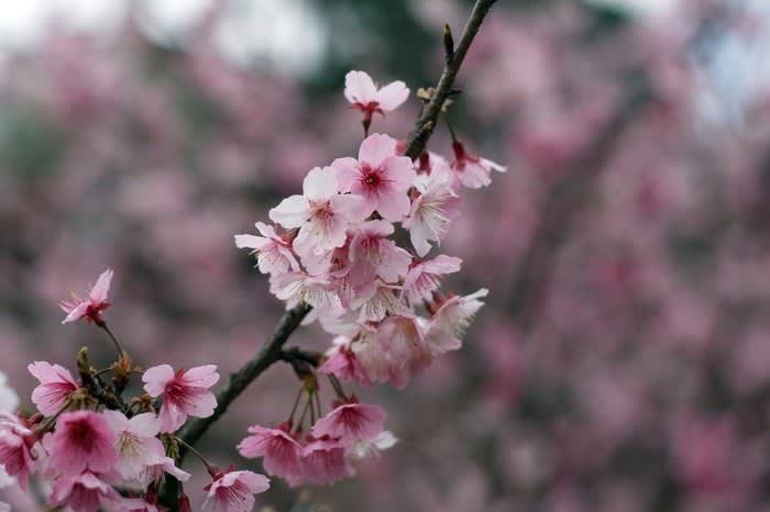 ngắm hoa anh đào ở đài loan tại phố cổ wulai