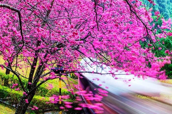 ngắm hoa anh đào ở đài loan tại hồ nhật nguyệt