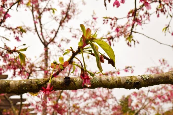 ngắm hoa anh đào ở đài loan tại vườn bách thảo renshan