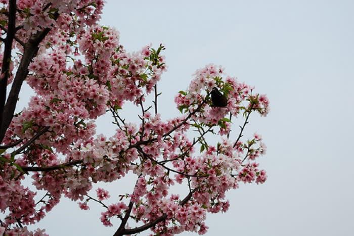 ngắm hoa anh đào ở đài loan tại thành phố đài bắc