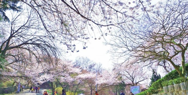 ngắm hoa anh đào tại hàn quốc ở lễ hội hoa anh đào sông seomjingang