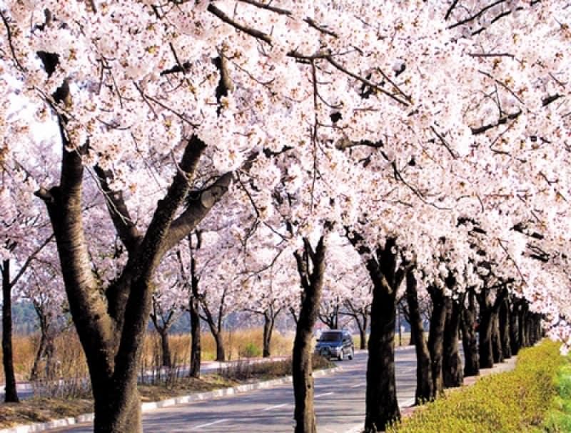 ngắm hoa anh đào ở hàn quốc tại lễ hội hoa anh đào gyeongpodae
