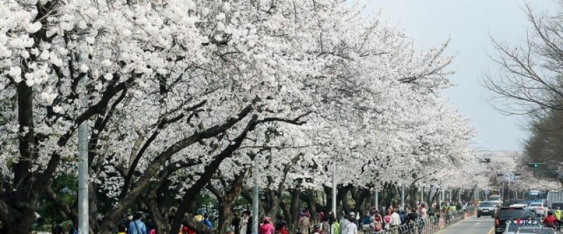 ngắm hoa anh đào tại hàn quốc ở đường Yeouiseo-ro