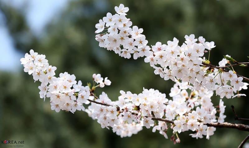 ngắm hoa anh đào tại hàn quốc trong lễ hội hoa xuân Yeouido