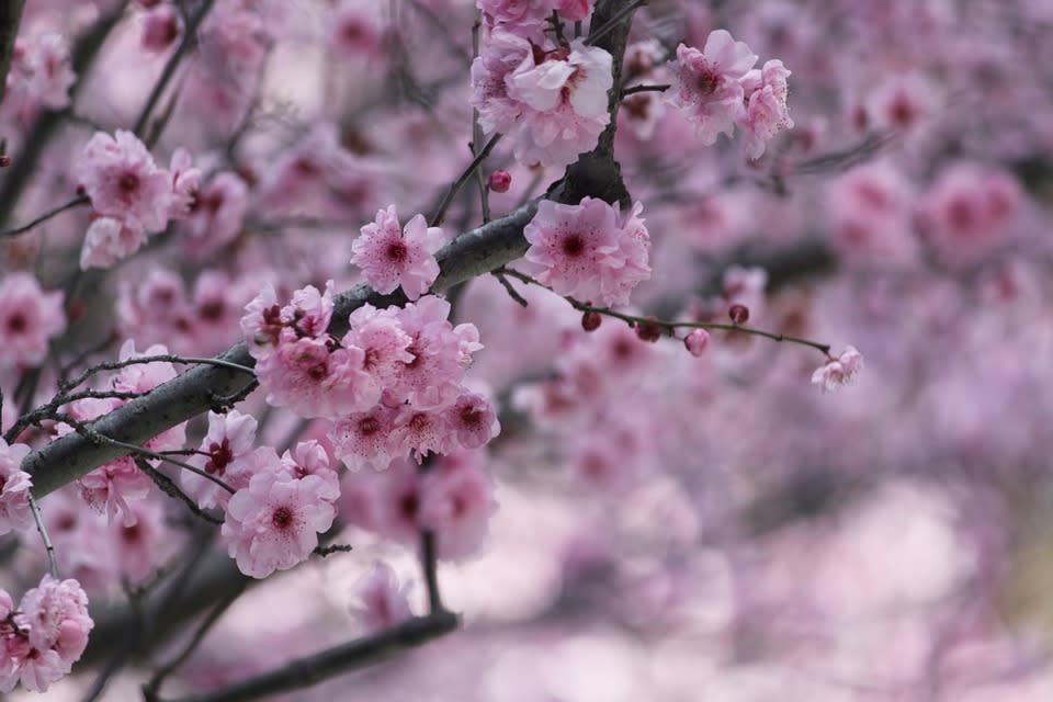 ngắm hoa anh đào tại hàn quốc trong lễ hội hoa anh đào jeju