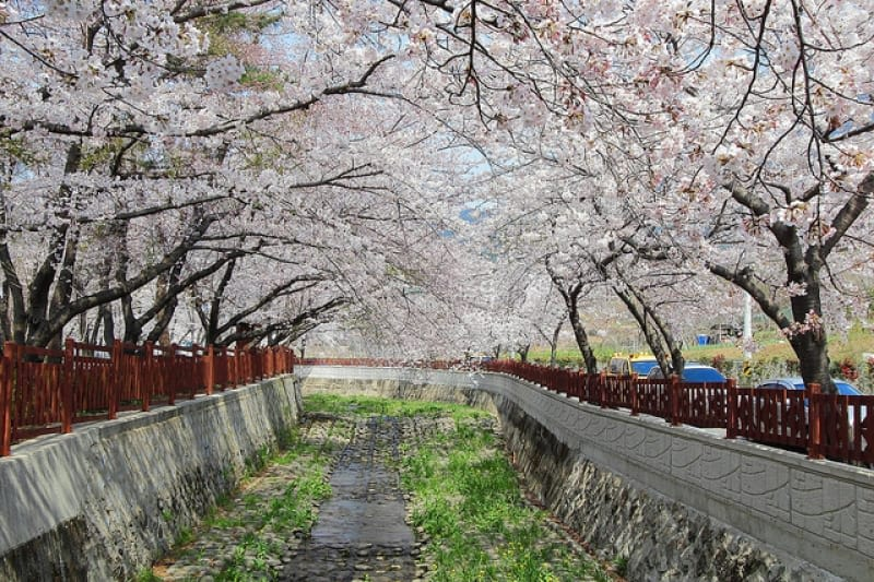 ngắm hoa anh đào tại hàn quốc trong lễ hội hoa anh đào jinhae