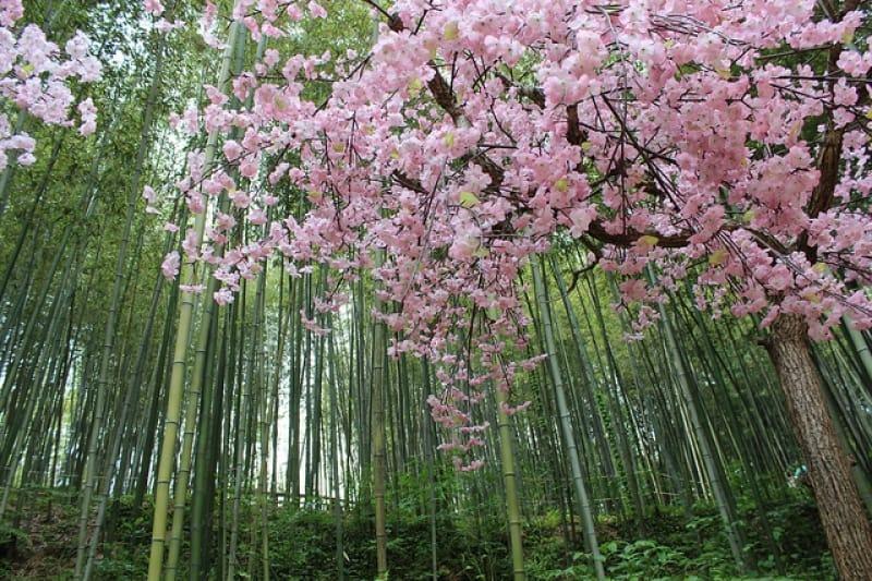ngắm hoa anh đào tại hàn quốc trong rừng tre