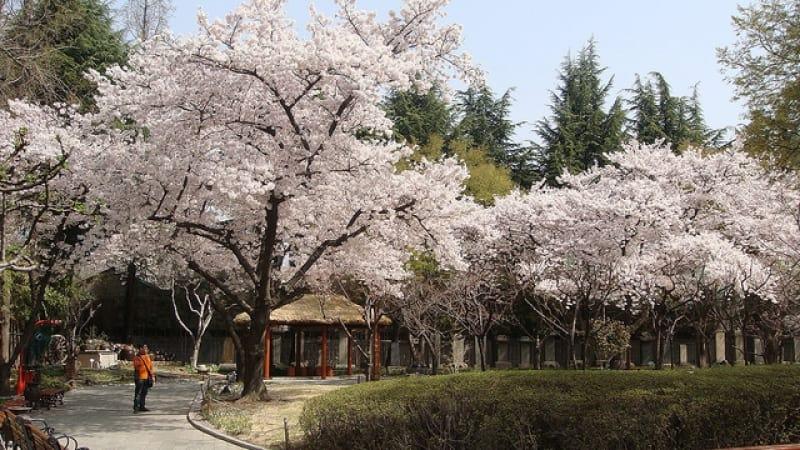 ngắm hoa anh đào tại hàn quốc ở daegu