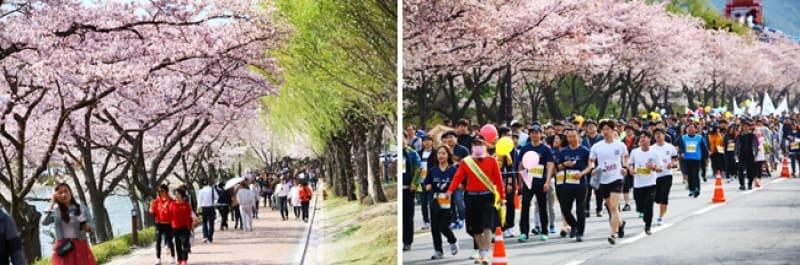 ngắm hoa anh đào tại hàn quốc ở gyeongju