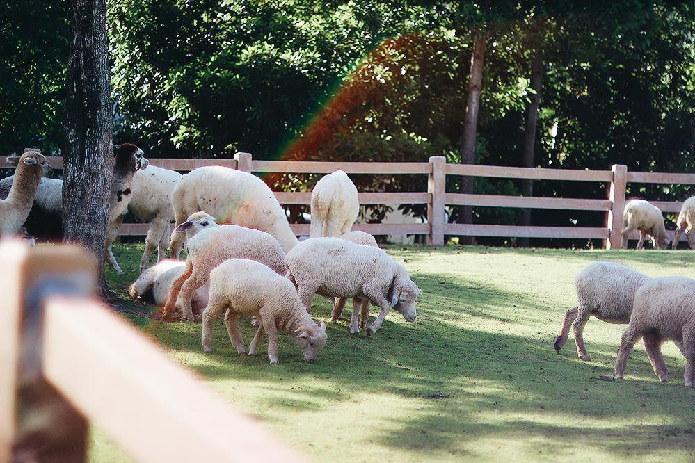 du lịch khao yai - cừu ở primo piazza