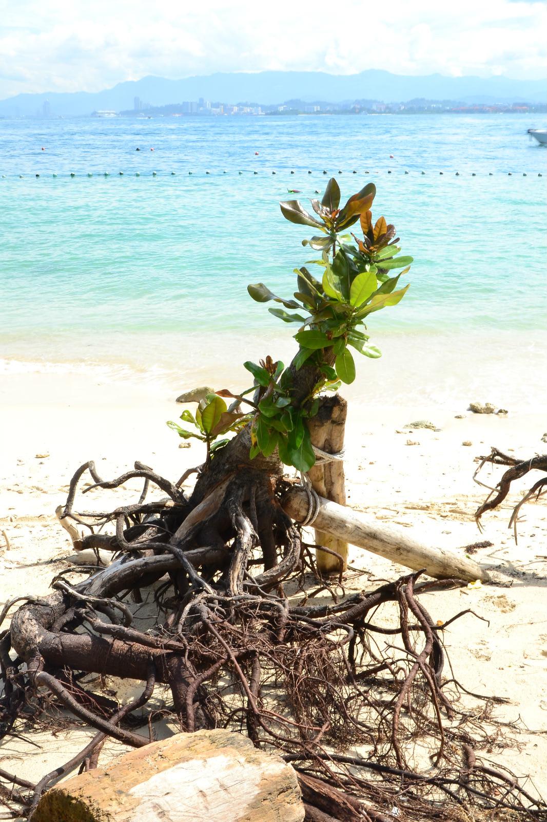 du lịch kota kinabalu - gốc cây trôi dạt