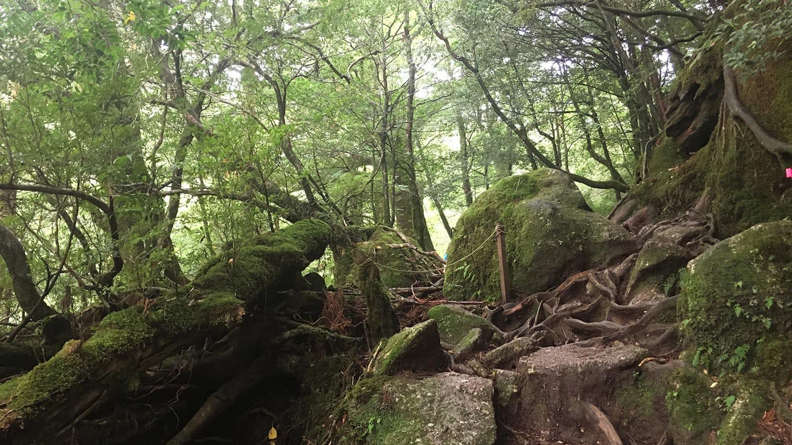 du lịch yakushima - rừng nguyên sinh