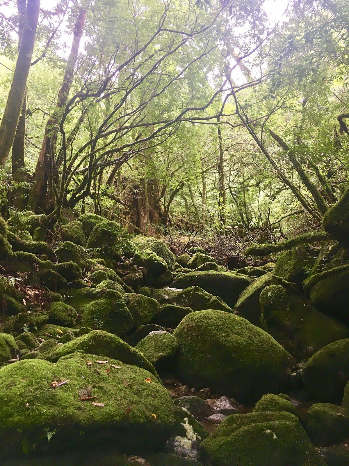 du lịch yakushima - đá phủ rêu