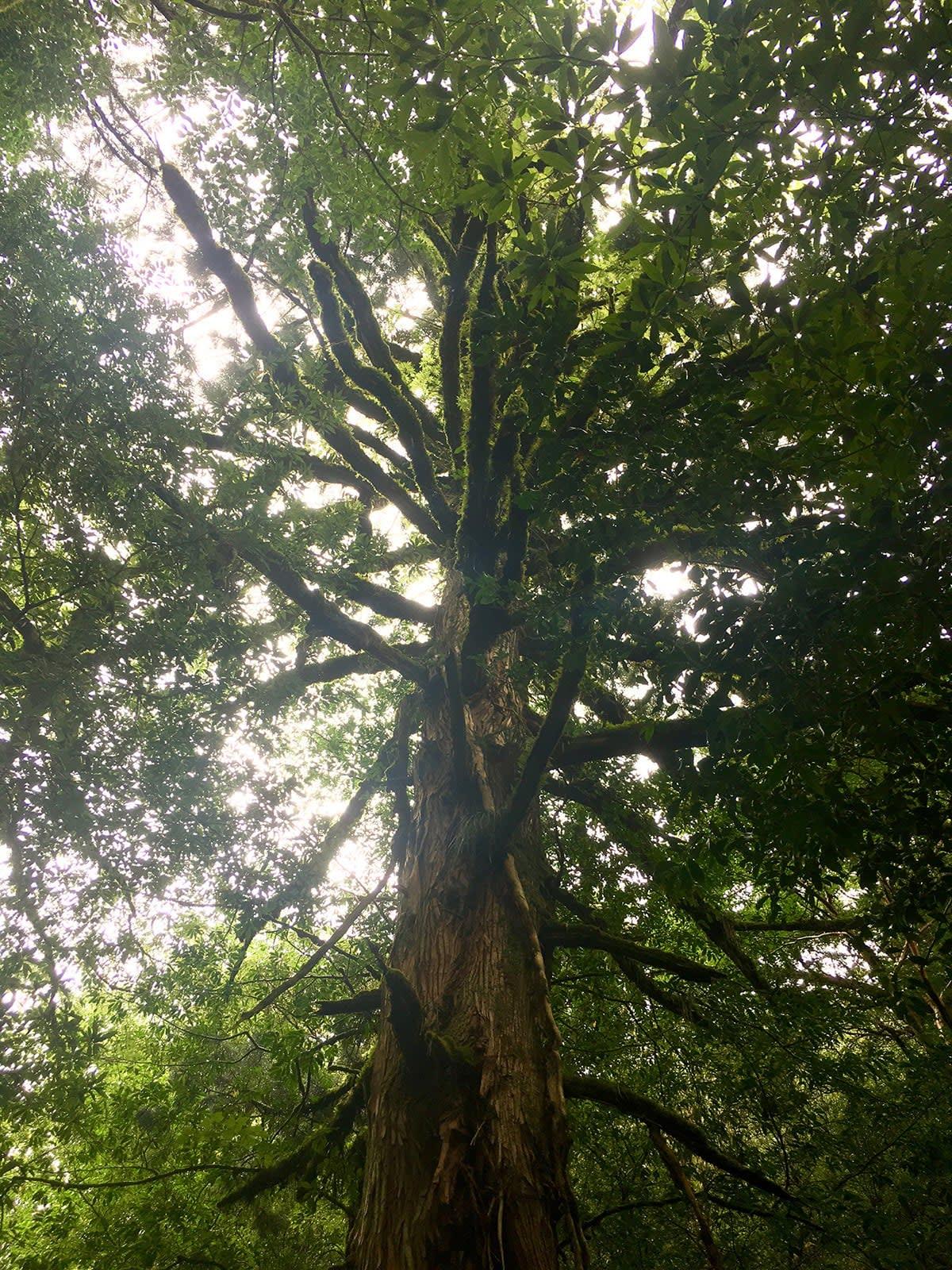 du lịch yakushima - cây cổ thụ