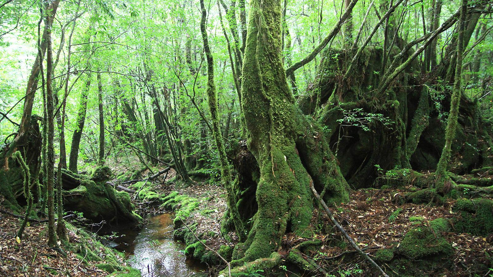 du lịch yakushima - cây cổ thụ phủ rêu