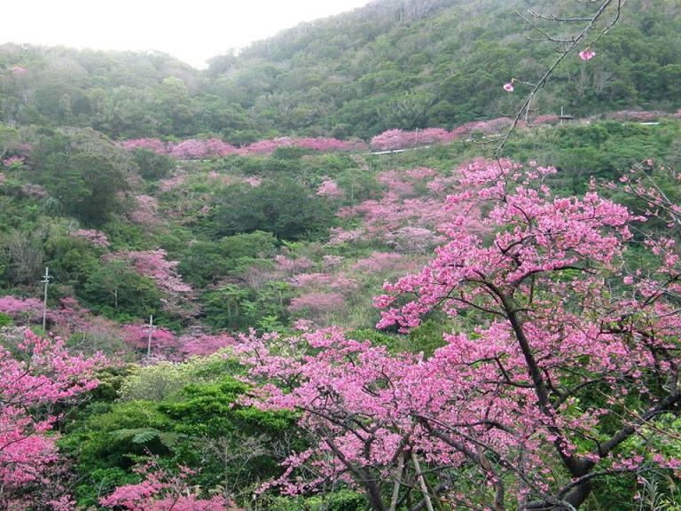 ngắm hoa anh đào tại nhật bản trên đồi