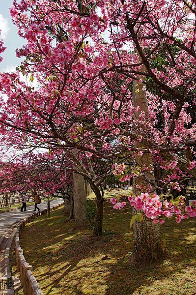 ngắm hoa anh đào tại công viên yogi park