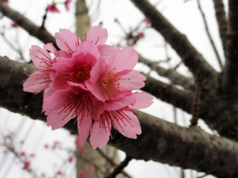 ngắm hoa anh đào tại thành phố nago