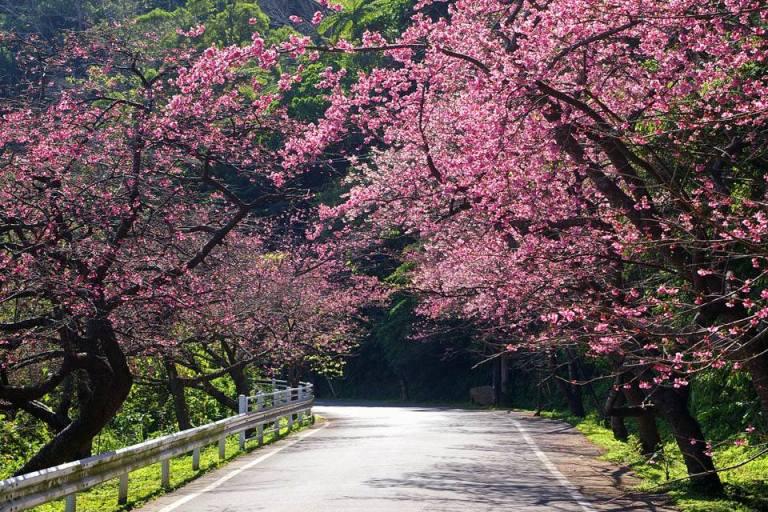 ngắm hoa anh đào tại núi yaedake