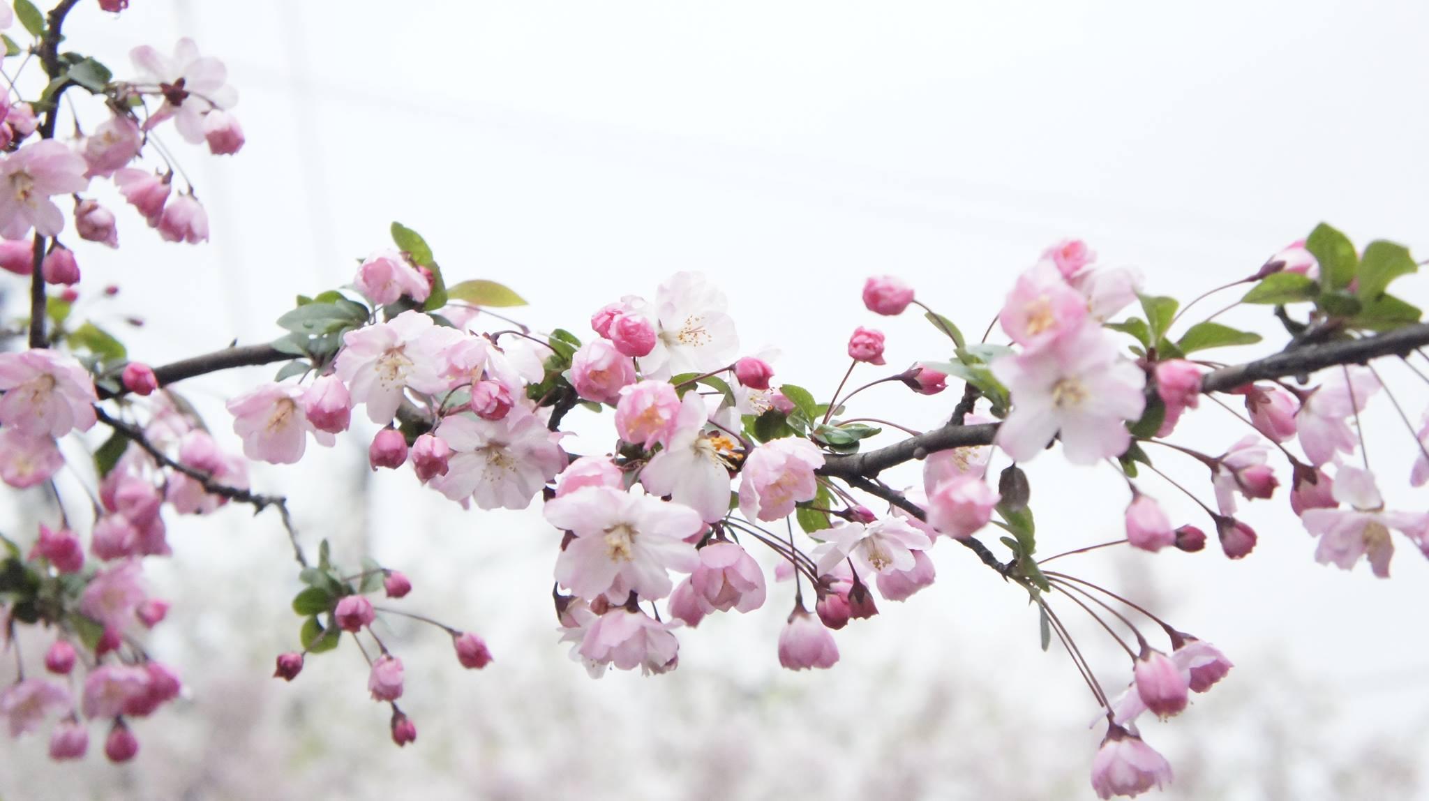 ngắm hoa anh đào tại kyoto