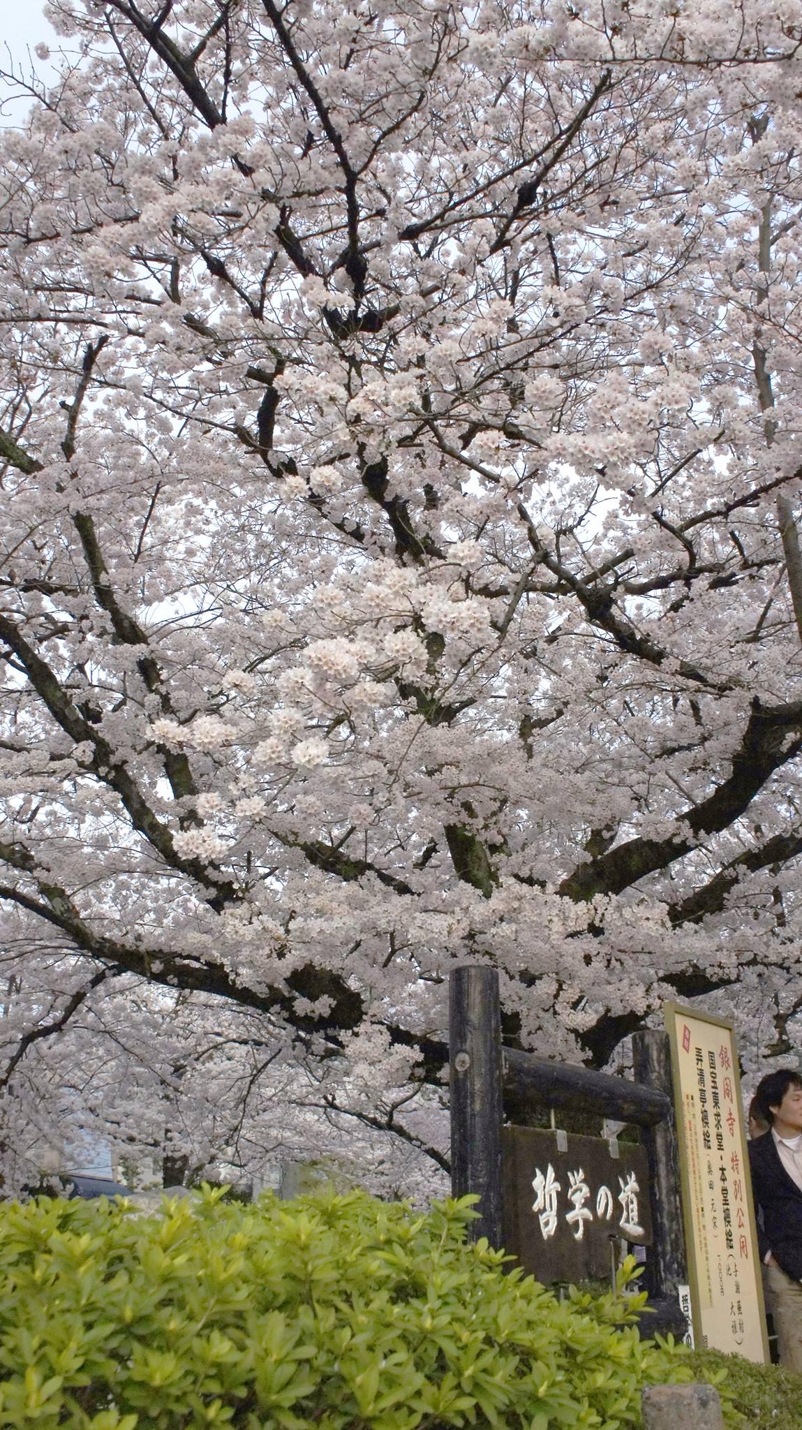 ngắm hoa anh đào tại con đường hiền triết