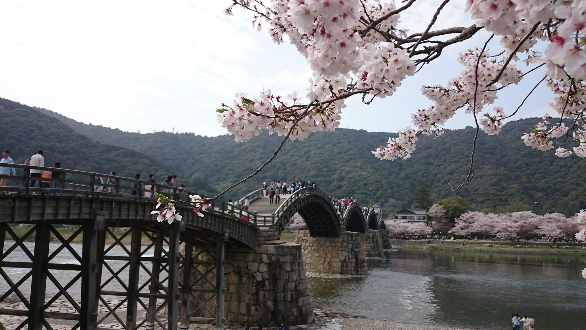 ngắm hoa anh đào tại cầu kintaikyo