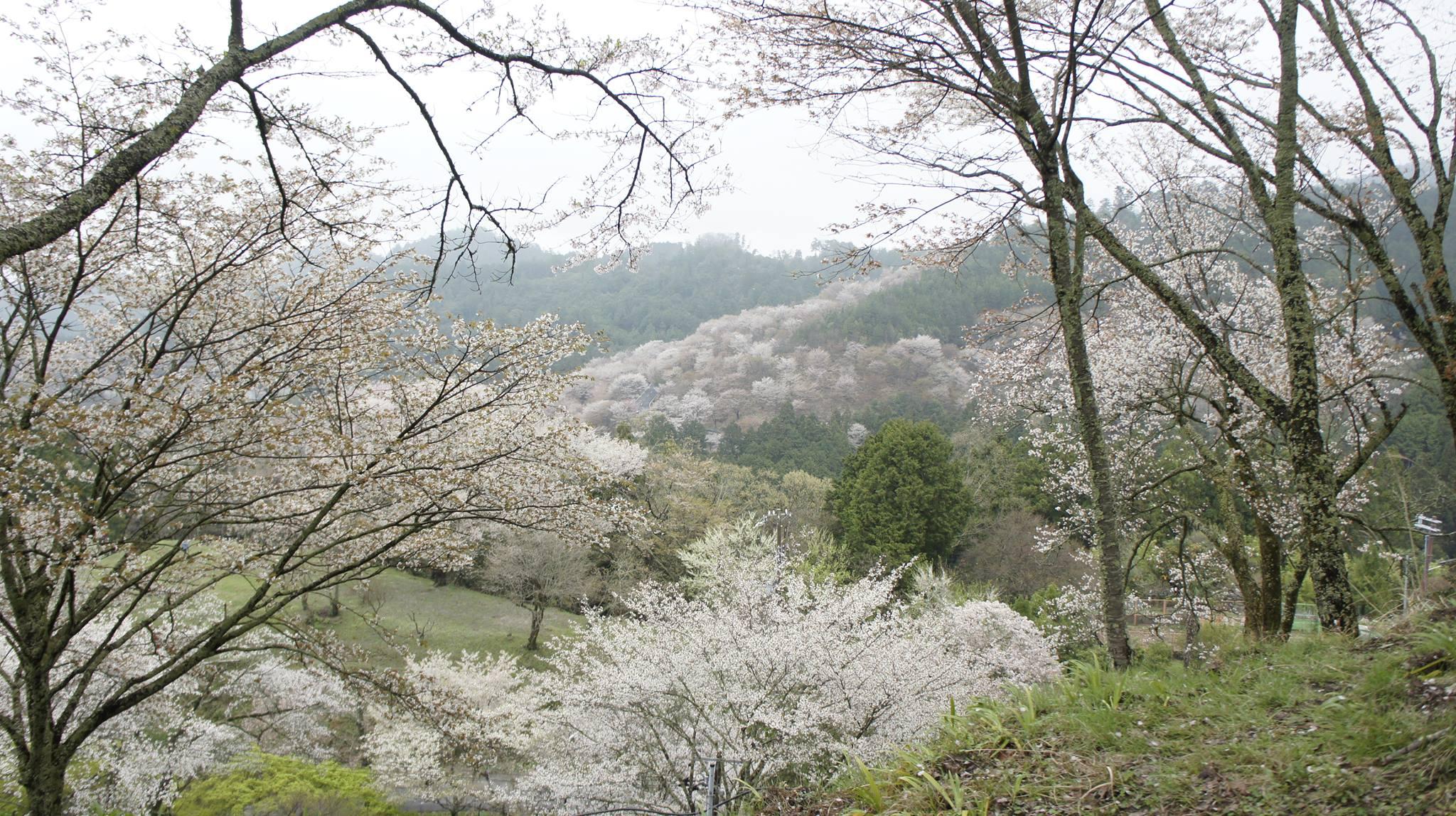 ngắm hoa anh đào trên núi yoshino
