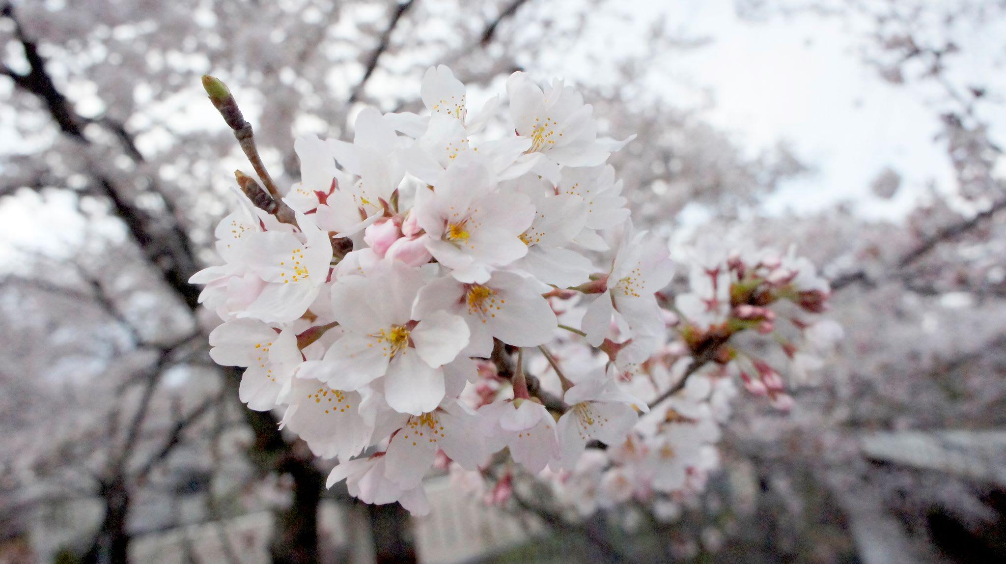 ngắm hoa anh đào cận cảnh