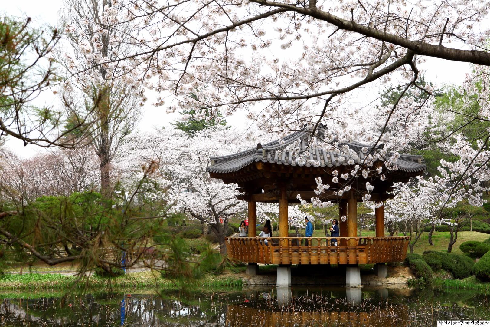 hoạt động săn hoa anh đào ở hàn quốc: festival anh đào tỉnh gyeongju