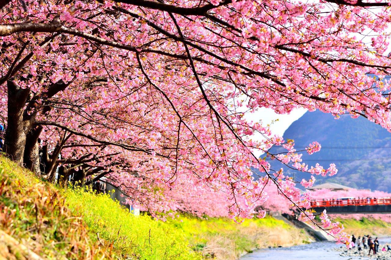 hoạt động săn hoa anh đào: tour ngắm anh đào kawazuzakura