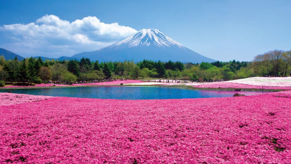 hoạt động săn hoa anh đào ở nhật bản: tour tham quan fuji shibazakura