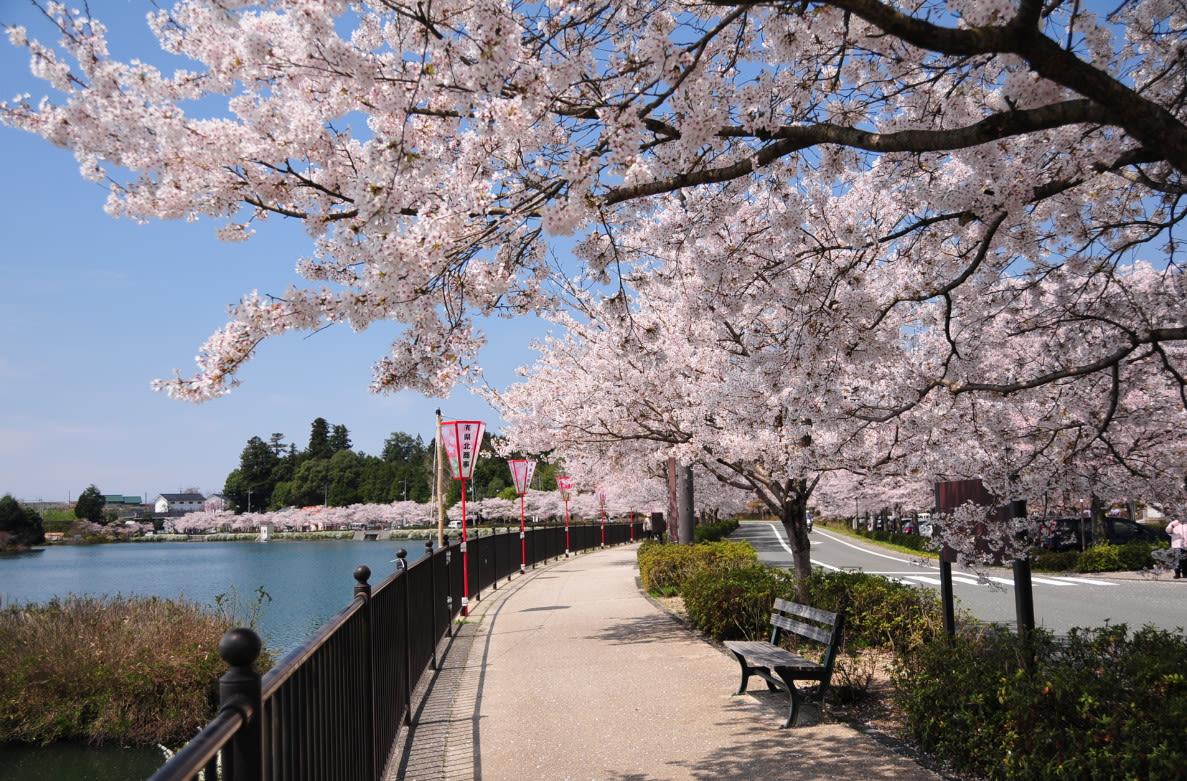 hoạt động săn hoa anh đào ở nhật bản: tour 4 điểm ngắm hoa anh đào ở tokyo