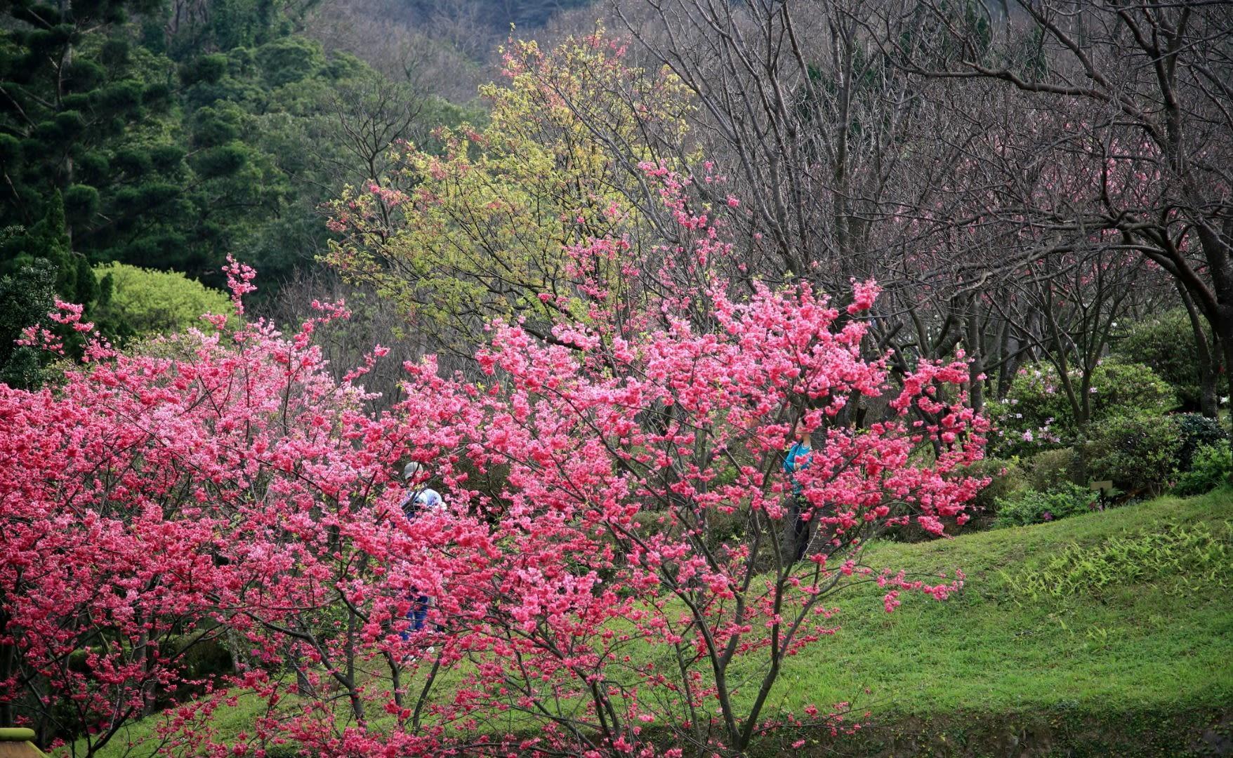 hoạt động săn hoa anh đào ở đài loan: ngắm hoa anh đào ở dương minh sơn