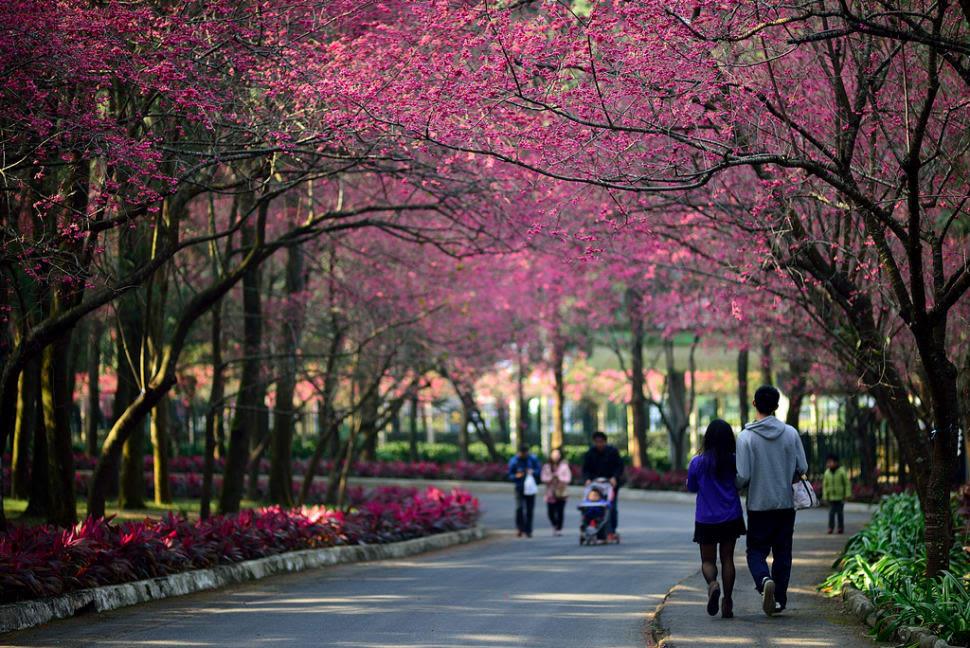 lễ hội hoa anh đào là một trong 5 lễ hội hoa ở đài loan