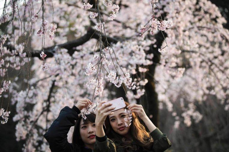 Hoa anh đào Nhật Bản sẽ nở sớm trong năm 2018 1