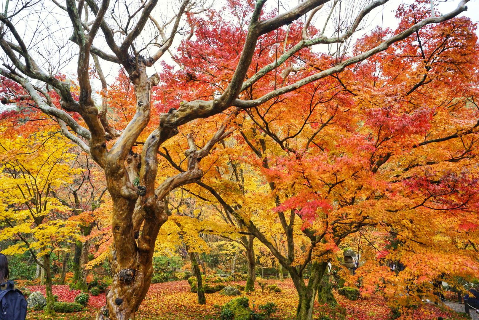 ngắm lá đỏ ở đền enkoji trong lịch trình ngắm mùa thu ở kyoto