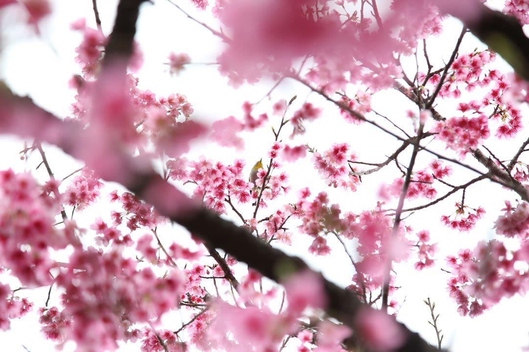 lâu đài nakijin là một địa điểm ngắm hoa anh đào
