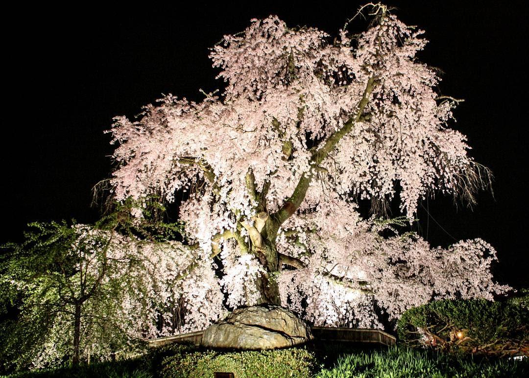 công viên maruyama là một địa điểm ngắm hoa anh đào vào ban đêm