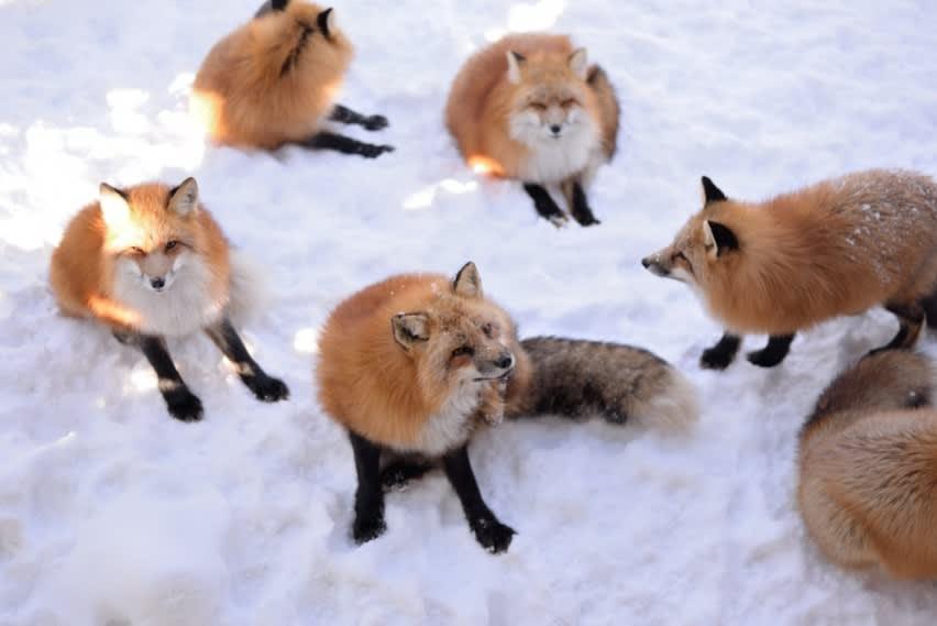 Làng Zao Fox