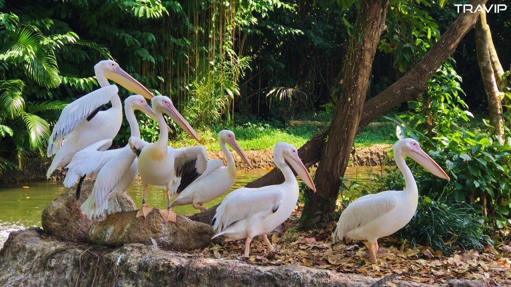 xem bồ nông tại singapore zoo trong lịch trình đi singapore dịp 30/4 cho nhóm bạn thân