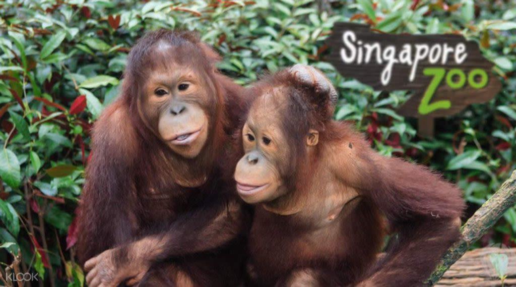 xem đười ươi ở sở thú singapore trong lịch trình đi singapore dịp 30/4 cho gia đình