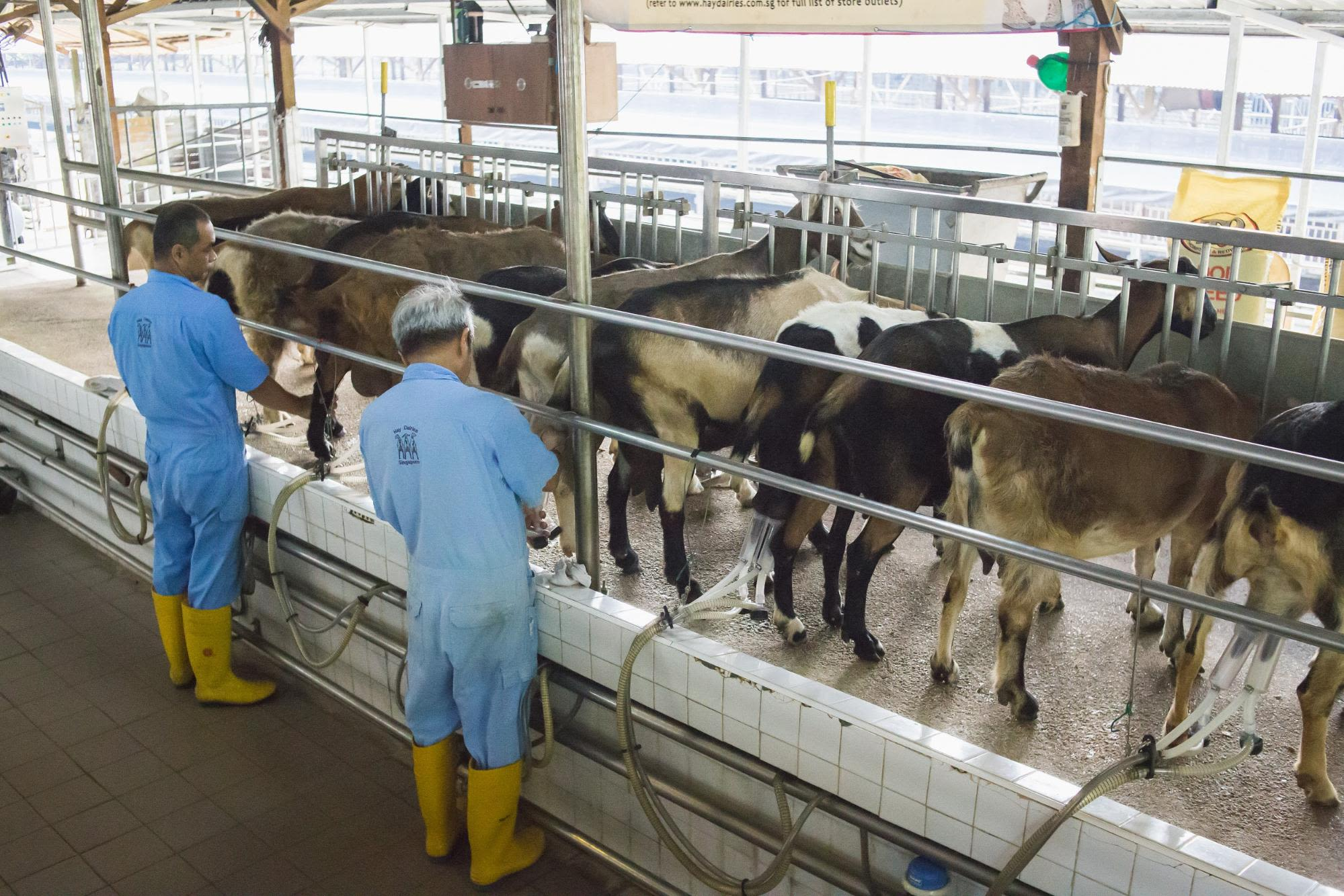 tới trang trại sữa ở phía tây singapore