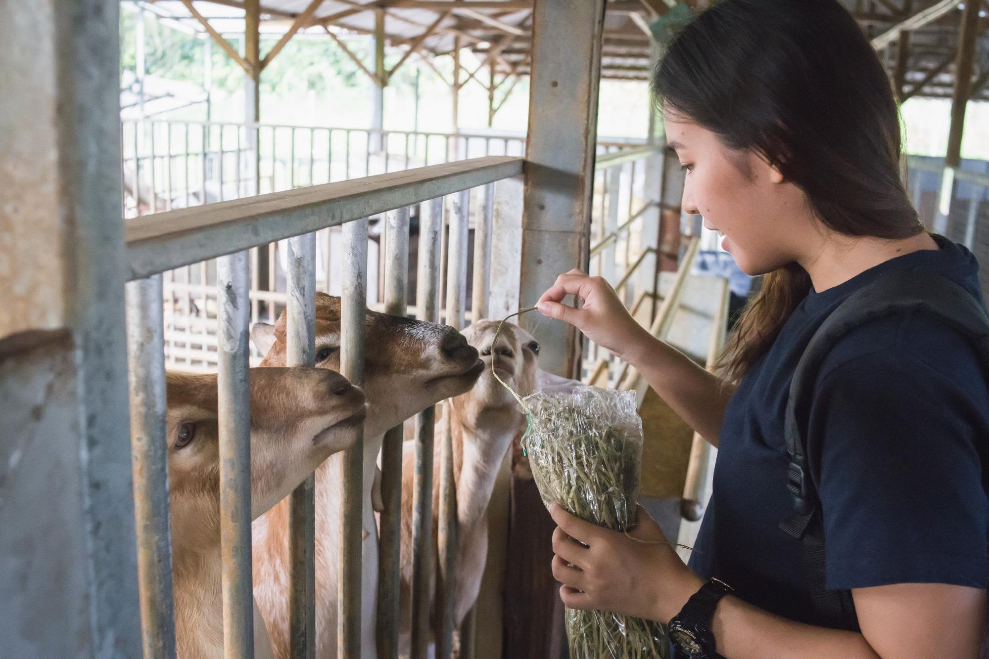 cho dê ăn ở trang trại sữa phía tây singapore