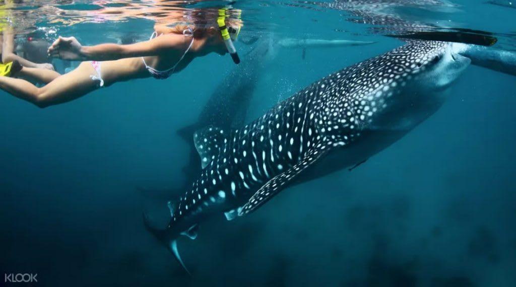 bơi lội cùng cá voi ở obslob, một bãi biển đẹp ở philippines