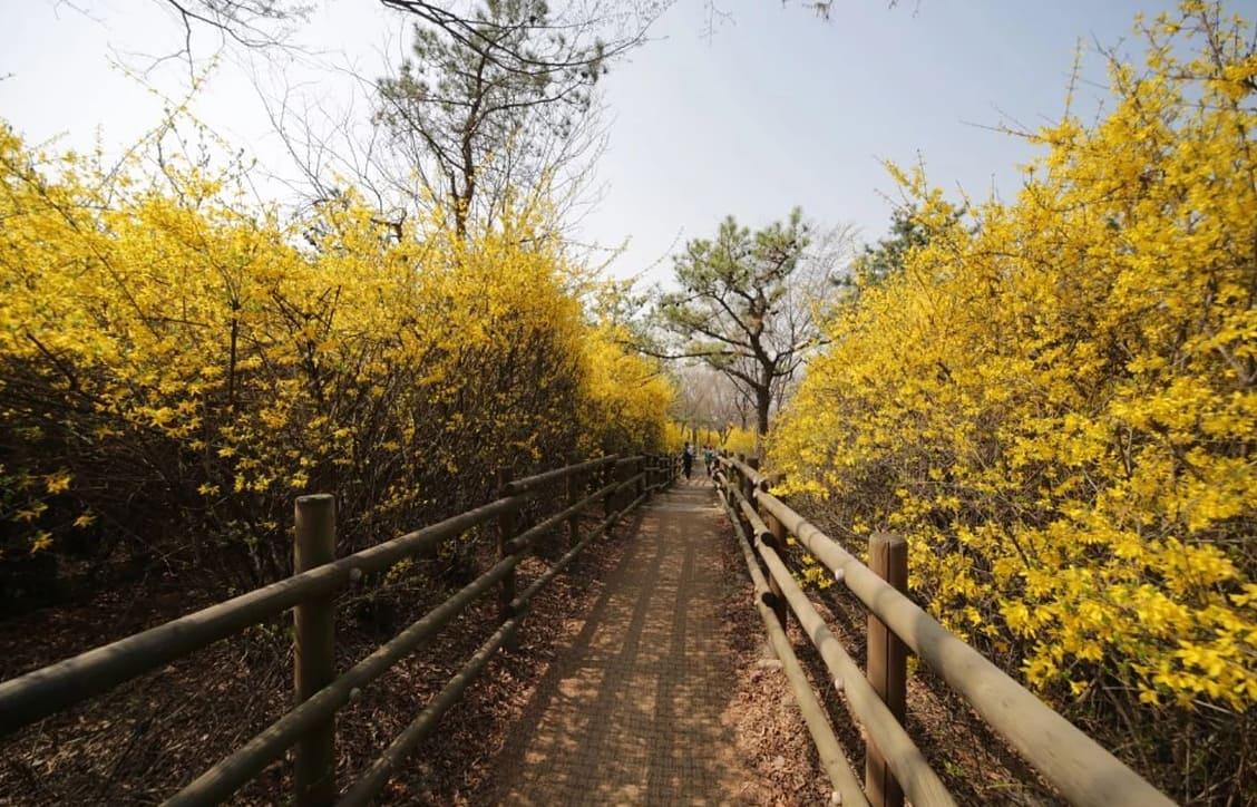 hoa liên kiều tại núi eunbongsan
